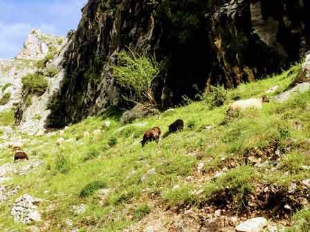 Cabras y ovejas pastando en la Ruta del Cares, Asturias